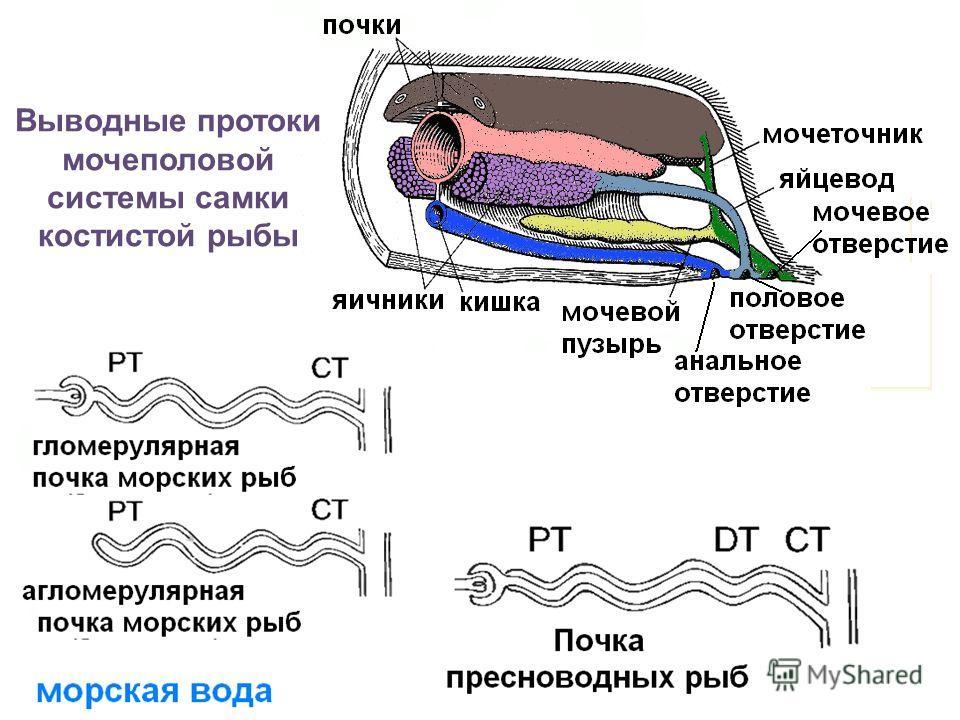 Выводные протоки мочеполовой системы самки костистой рыбы