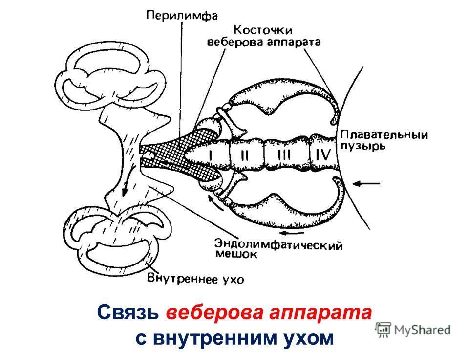 Связь веберова аппарата с внутренним ухом