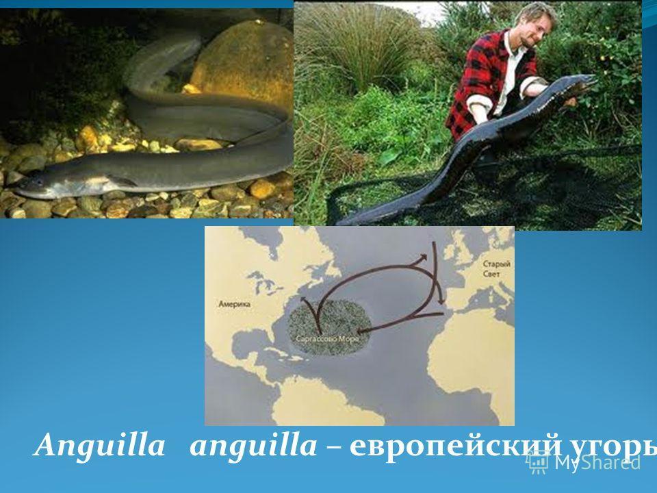 Anguilla anguilla – европейский угорь