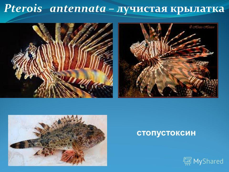 Pterois antennata – лучистая крылатка стопустоксин