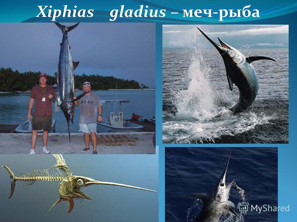 Xiphias gladius – меч-рыба