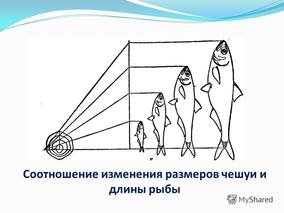 Соотношение изменения размеров чешуи и длины рыбы