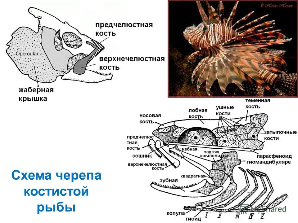 Схема черепа костистой рыбы
