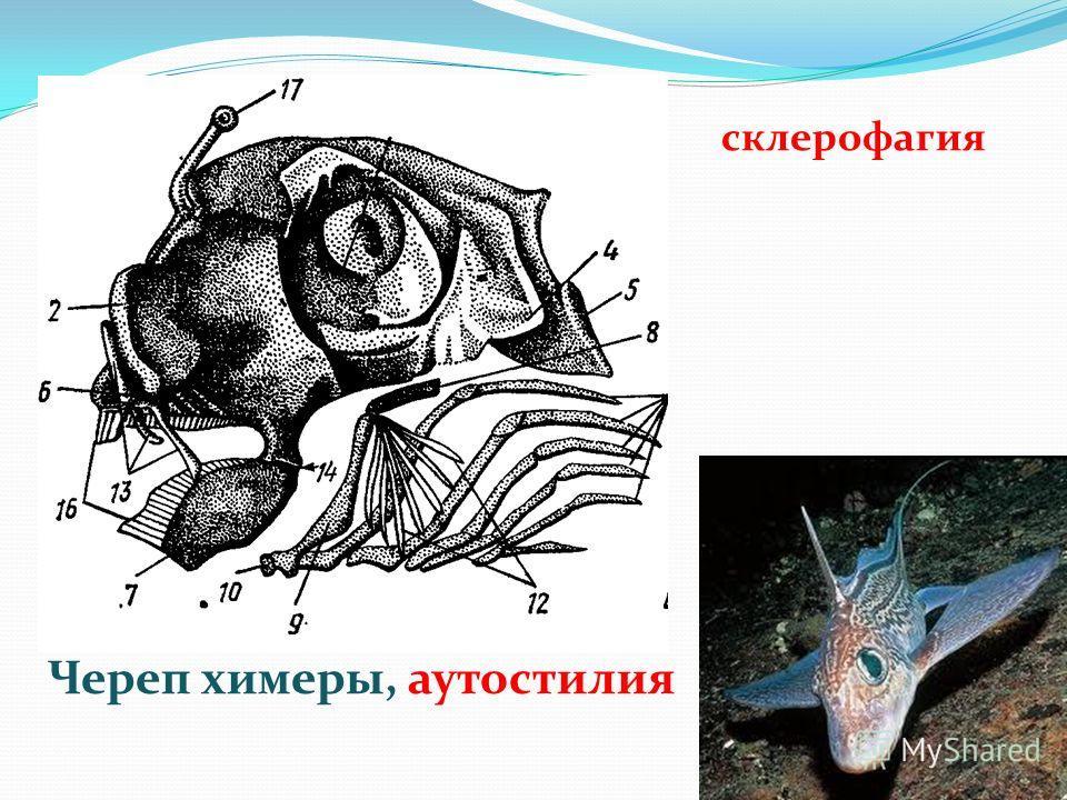 Череп химеры, аутостилия склерофагия