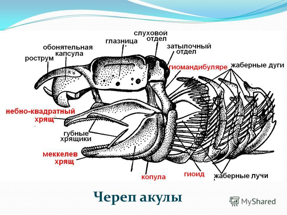 Череп акулы
