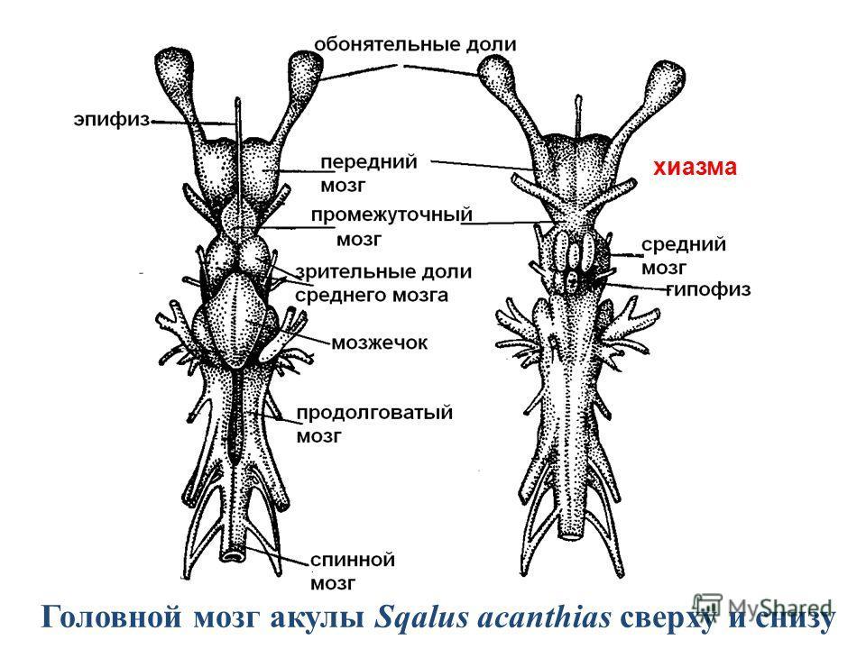 Головной мозг акулы Sqalus acanthias сверху и снизу хиазма
