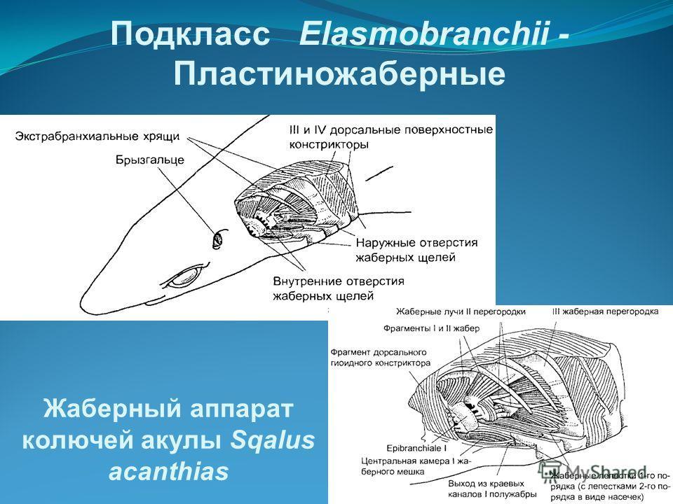 Подкласс Elasmobranchii - Пластиножаберные Жаберный аппарат колючей акулы Sqalus acanthias