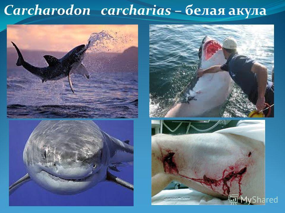 Carcharodon carcharias – белая акула