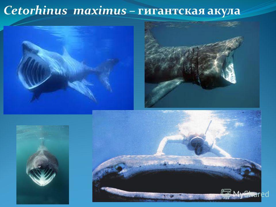 Cetorhinus maximus – гигантская акула