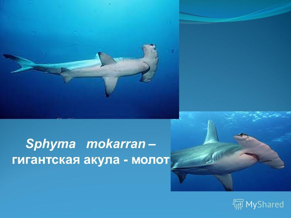 Sphyma mokarran – гигантская акула - молот