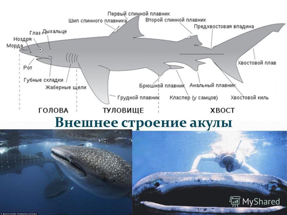 Внешнее строение акулы