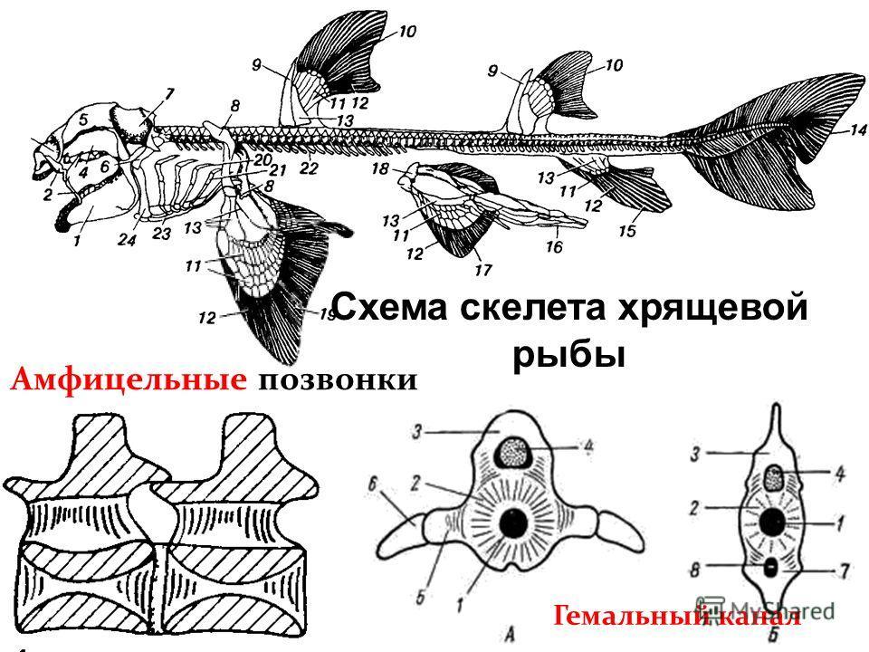 Схема скелета хрящевой рыбы Гемальный канал Амфицельные позвонки