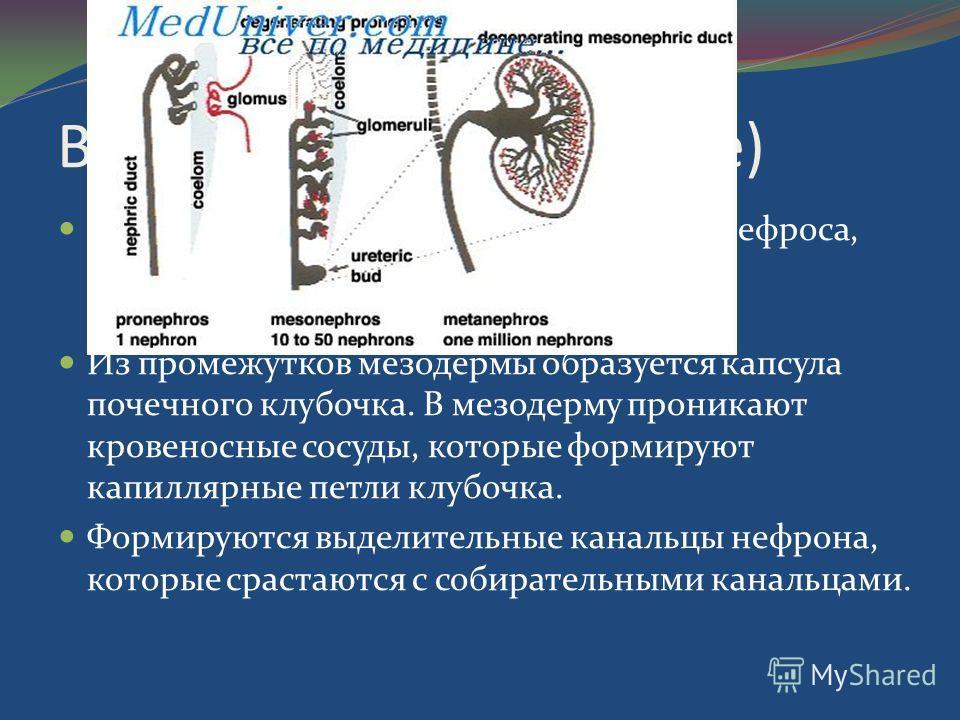 В 3 стадия (5-ли7неделе) Происходит выпячивание протока мезонефроса, формирование мочеточников, чашечек, собирательных канальцев. Из промежутков мезодермы образуется капсула почечного клубочка. В мезодерму проникают кровеносные сосуды, которые формир
