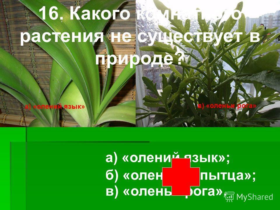 а) «олений язык» в) «оленьи рога» 16. Какого комнатного растения не существует в природе? а) «олений язык»; в) «оленьи рога». б) «оленьи копытца»;