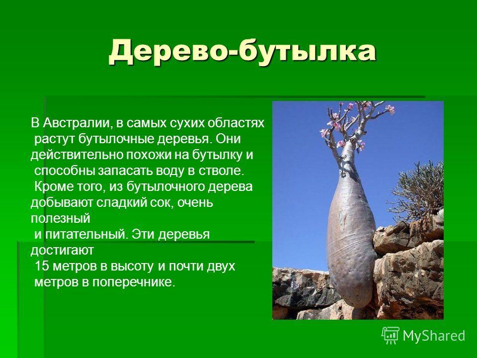Дерево-бутылка В Австралии, в самых сухих областях растут бутылочные деревья. Они действительно похожи на бутылку и способны запасать воду в стволе. Кроме того, из бутылочного дерева добывают сладкий сок, очень полезный и питательный. Эти деревья дос