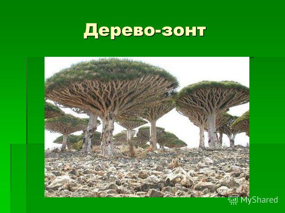 Дерево-зонт