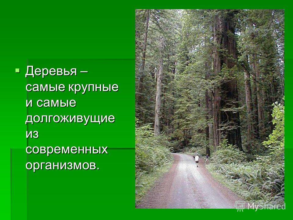 Деревья – самые крупные и самые долгоживущие из современных организмов. Деревья – самые крупные и самые долгоживущие из современных организмов.