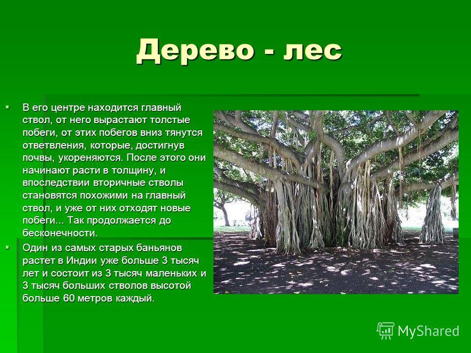 Дерево - лес В его центре находится главный ствол, от него вырастают толстые побеги, от этих побегов вниз тянутся ответвления, которые, достигнув почвы, укореняются. После этого они начинают расти в толщину, и впоследствии вторичные стволы становятся