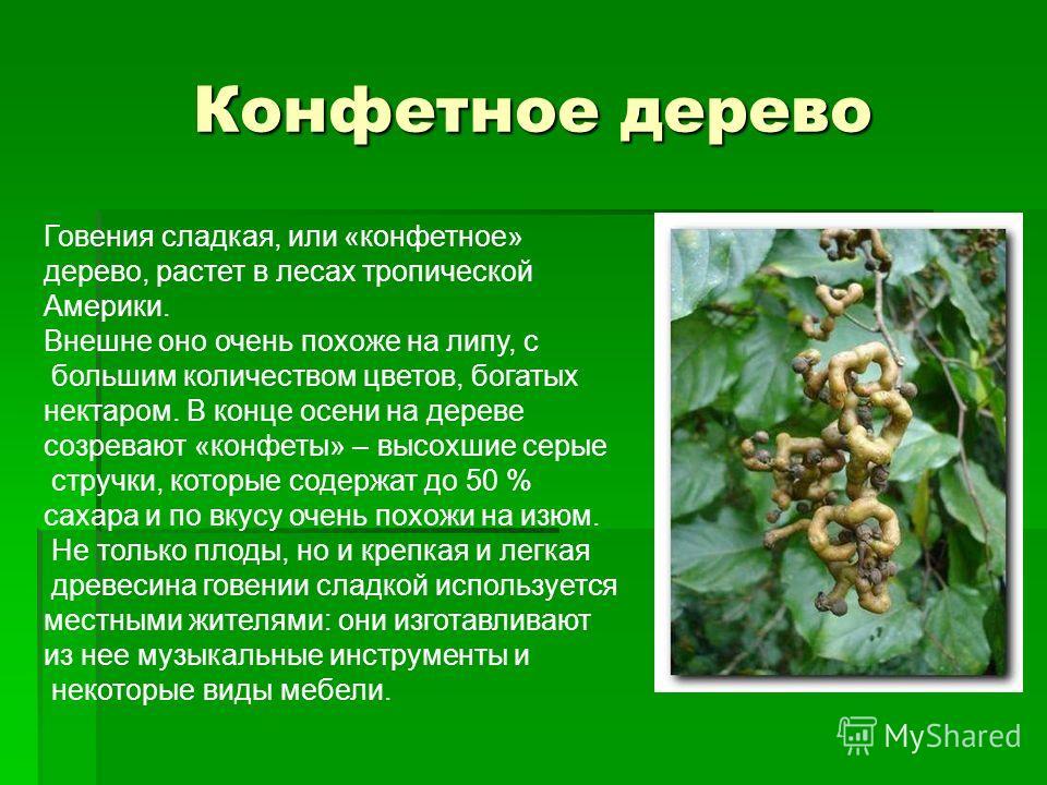 Конфетное дерево Говения сладкая, или «конфетное» дерево, растет в лесах тропической Америки. Внешне оно очень похоже на липу, с большим количеством цветов, богатых нектаром. В конце осени на дереве созревают «конфеты» – высохшие серые стручки, котор