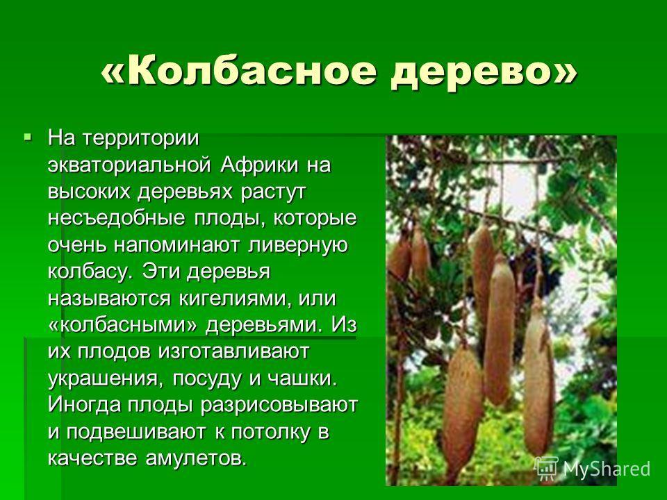 «Колбасное дерево» На территории экваториальной Африки на высоких деревьях растут несъедобные плоды, которые очень напоминают ливерную колбасу. Эти деревья называются кигелиями, или «колбасными» деревьями. Из их плодов изготавливают украшения, посуду