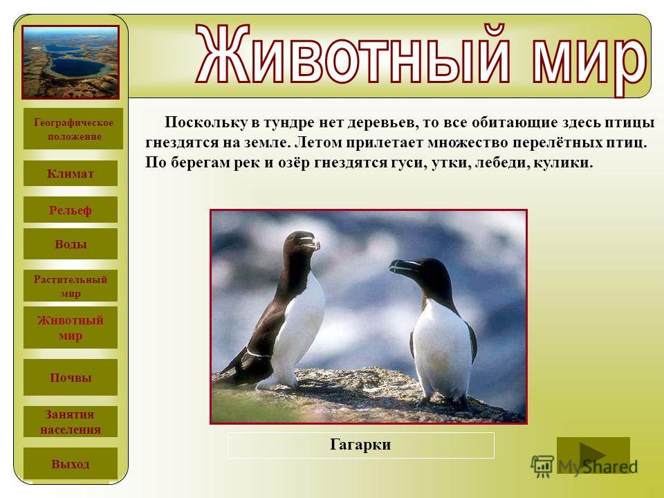 Поскольку в тундре нет деревьев, то все обитающие здесь птицы гнездятся на земле. Летом прилетает множество перелётных птиц. По берегам рек и озёр гнездятся гуси, утки, лебеди, кулики. Белоклювая гагараБэрдов песочникЛопатень Гагарки Географическое п