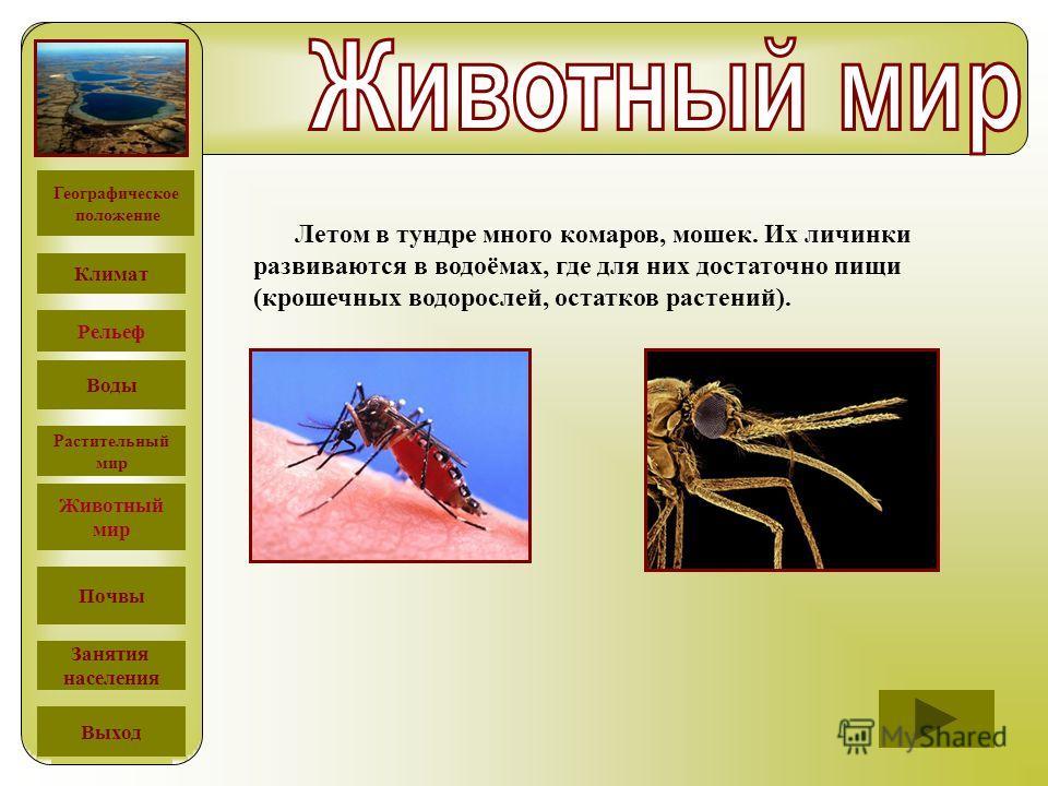 Летом в тундре много комаров, мошек. Их личинки развиваются в водоёмах, где для них достаточно пищи (крошечных водорослей, остатков растений). Географическое положение Климат Рельеф Воды Растительный мир Животный мир Почвы Занятия населения Выход