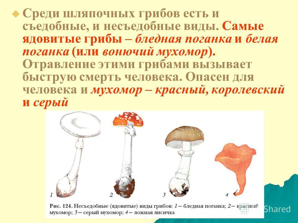 Среди шляпочных грибов есть и съедобные, и несъедобные виды. Самые ядовитые грибы – бледная поганка и белая поганка (или вонючий мухомор). Отравление этими грибами вызывает быструю смерть человека. Опасен для человека и мухомор – красный, королевский