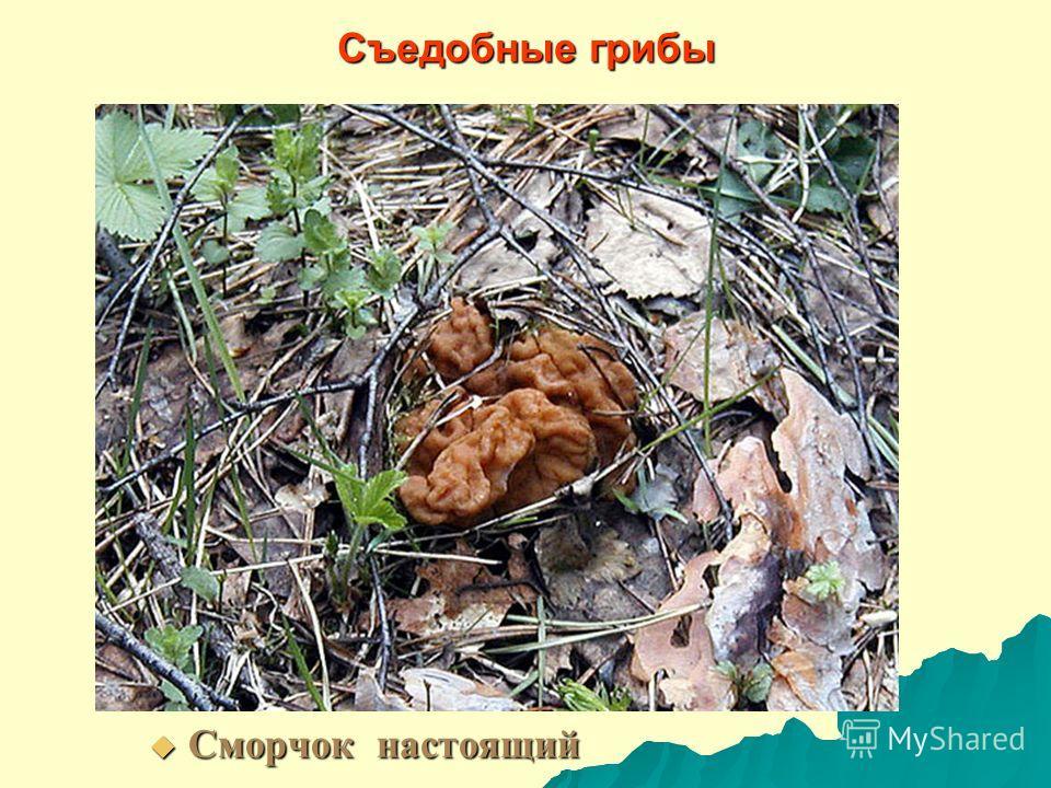 Съедобные грибы Сморчок настоящий Сморчок настоящий