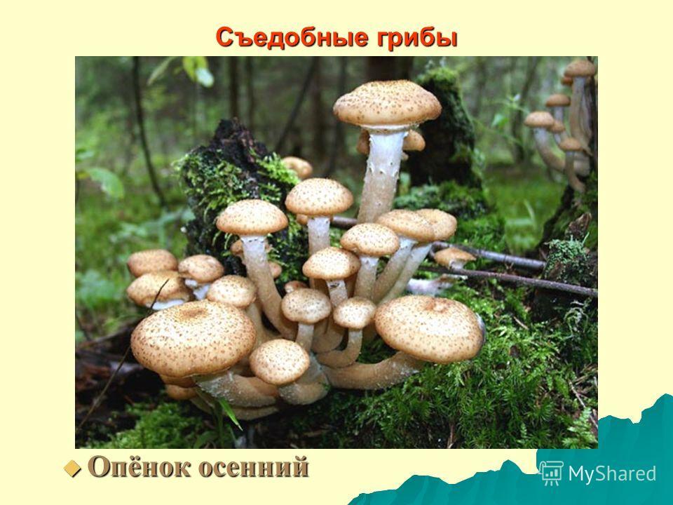 Съедобные грибы Опёнок осенний Опёнок осенний