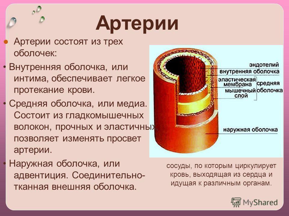 Артерии Артерии coстоят из трех оболочек: Внутренняя оболочка, или интима, обеспечивает легкое протекание крови. Средняя оболочка, или медиа. Состоит из гладкомышечных волокон, прочных и эластичных, позволяет изменять просвет артерии. Наружная оболоч