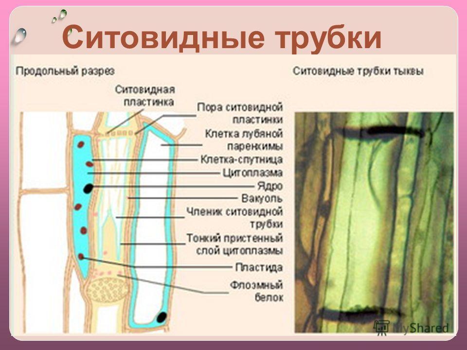 Ситовидные трубки