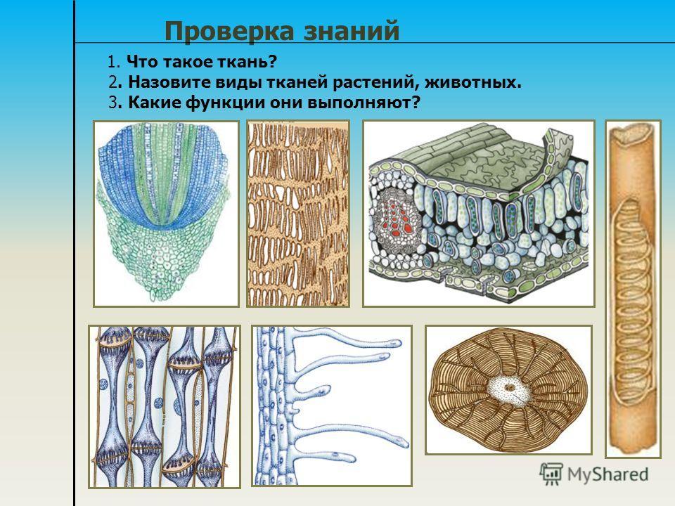 Проверка знаний 1. Что такое ткань? 2. Назовите виды тканей растений, животных. 3. Какие функции они выполняют?