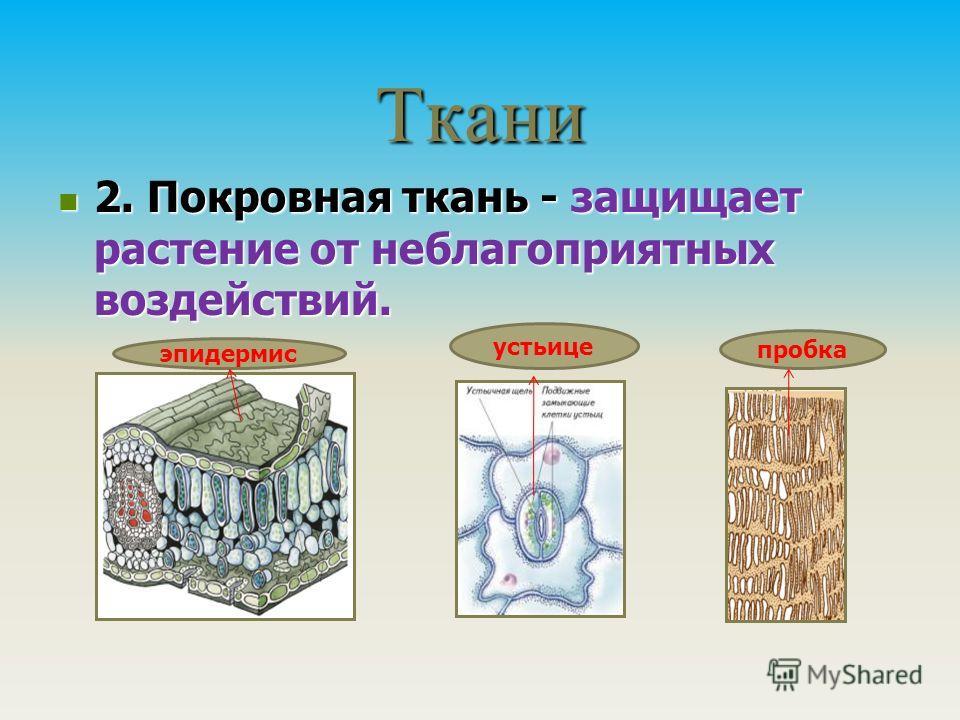 Ткани 2. Покровная ткань - защищает растение от неблагоприятных воздействий. 2. Покровная ткань - защищает растение от неблагоприятных воздействий. эпидермис устьице пробка