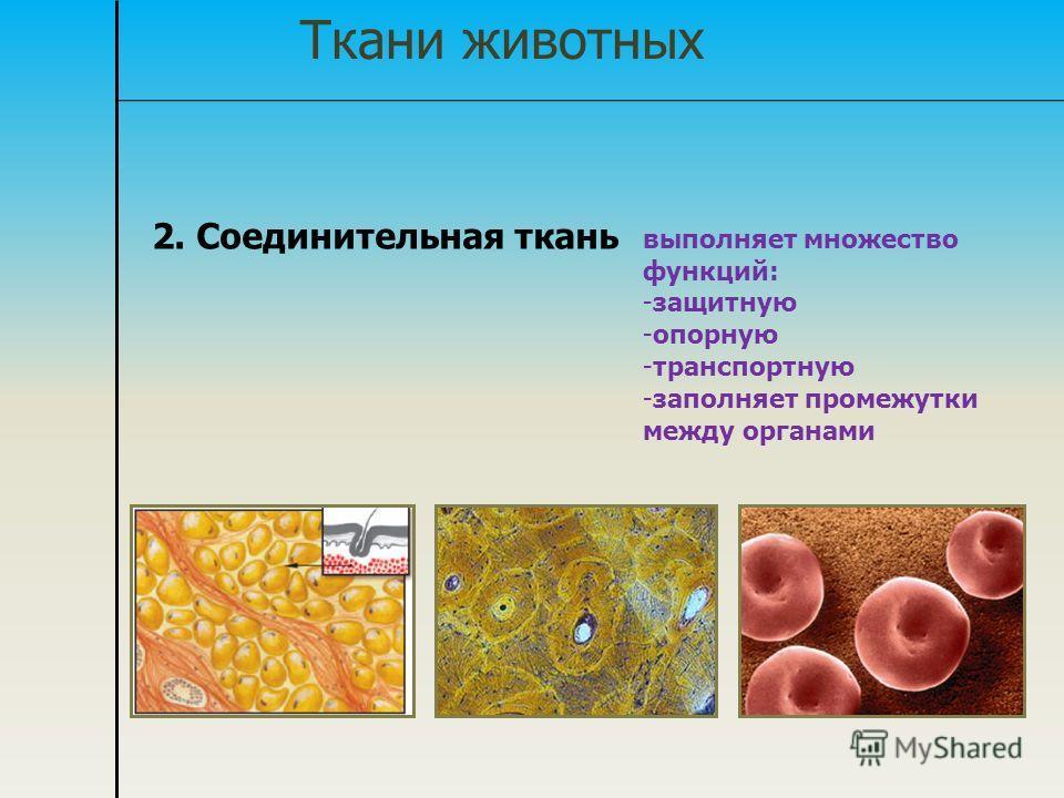 Ткани животных 2. Соединительная ткань выполняет множество функций: -защитную -опорную -транспортную -заполняет промежутки между органами