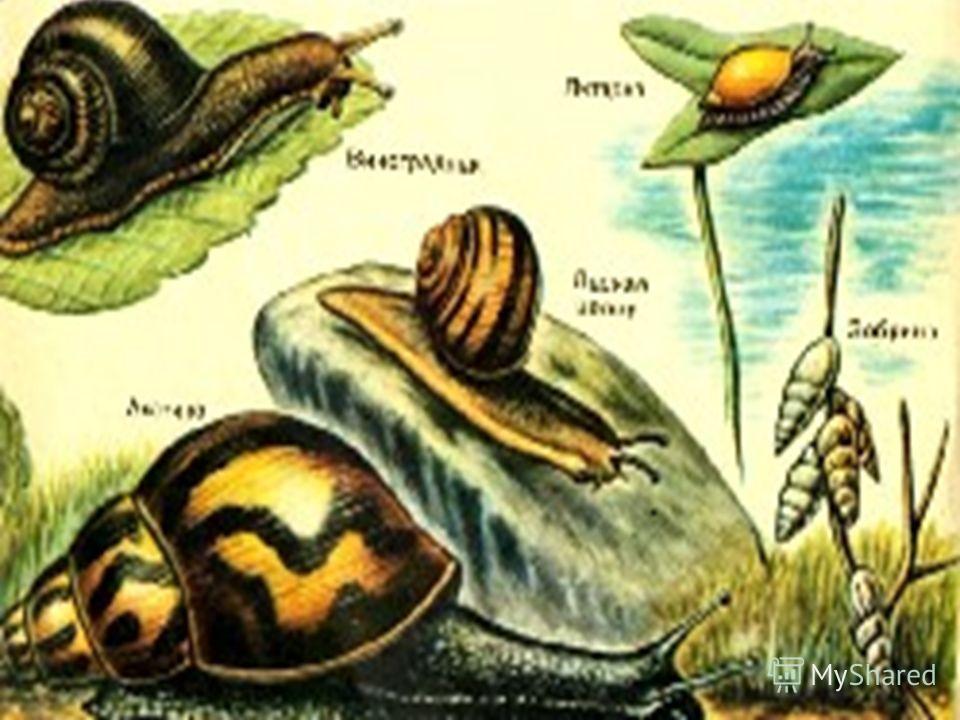 Примитивные легочные мешки появились у паукообразных. Развиваются они и у наземных брюхоногих моллюсков.