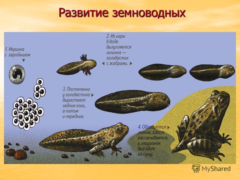 РАЗВИТИЕ Развитие лягушки происходит с превращением. РАЗВИТИЕ Развитие лягушки происходит с превращением.