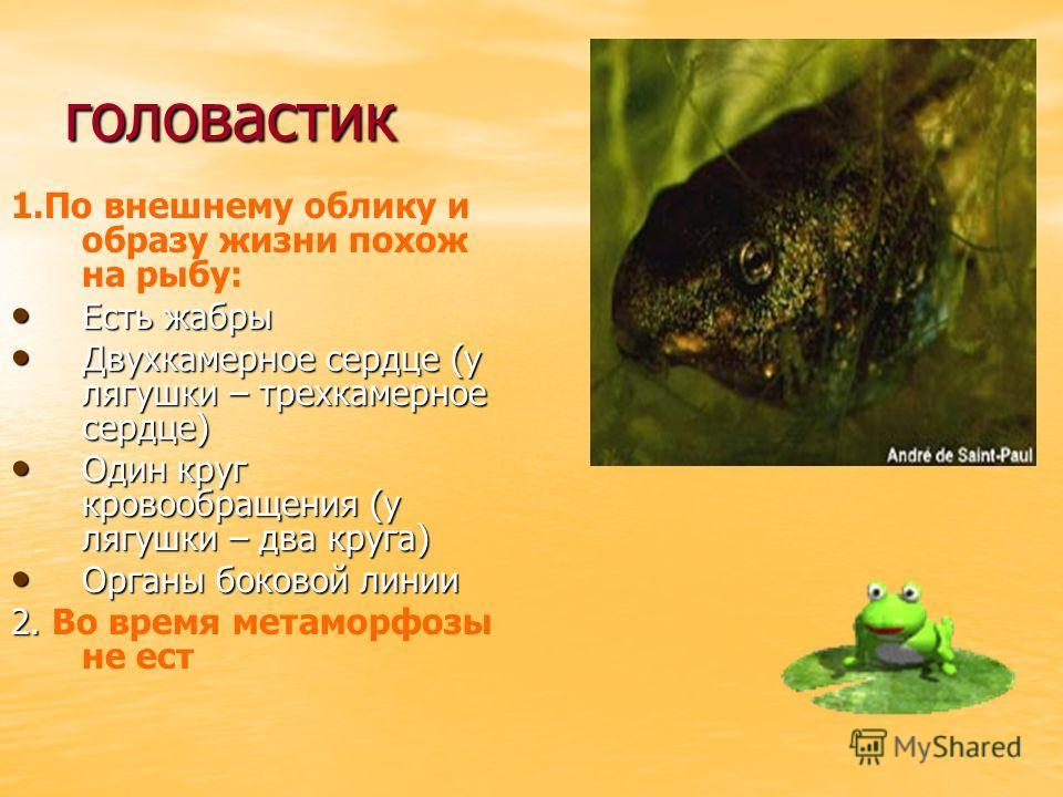 головастик 1.По внешнему облику и образу жизни похож на рыбу: Есть жабры Есть жабры Двухкамерное сердце (у лягушки – трехкамерное сердце) Двухкамерное сердце (у лягушки – трехкамерное сердце) Один круг кровообращения (у лягушки – два круга) Один круг