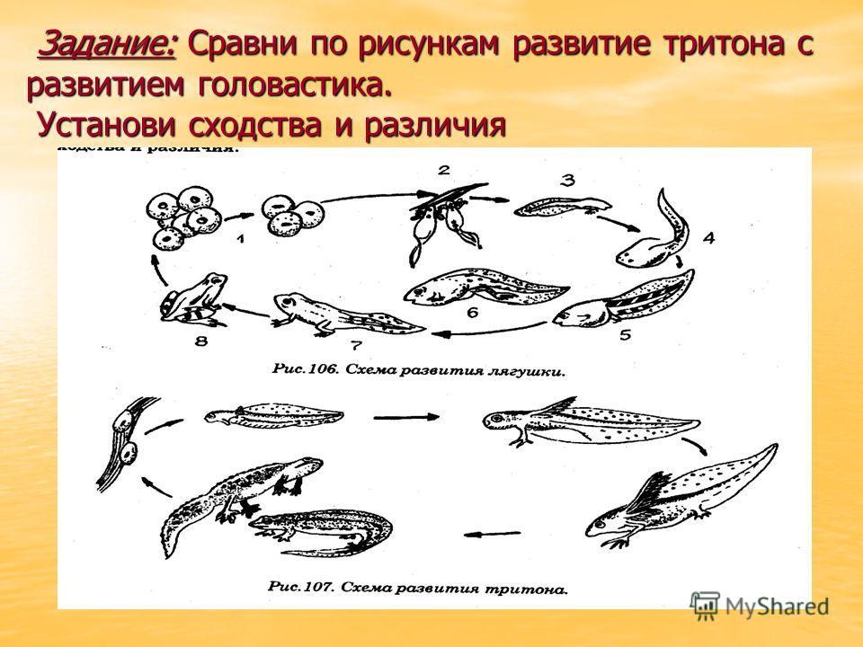 Задание: Сравни по рисункам развитие тритона с развитием головастика. Установи сходства и различия