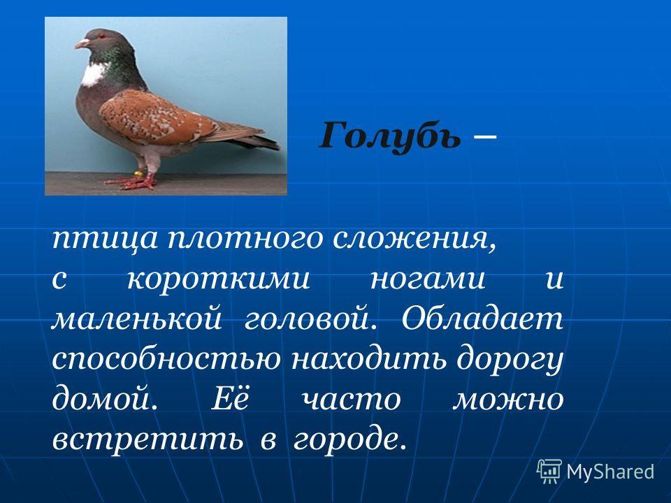 Голубь – птица плотного сложения, с короткими ногами и маленькой головой. Обладает способностью находить дорогу домой. Её часто можно встретить в городе.