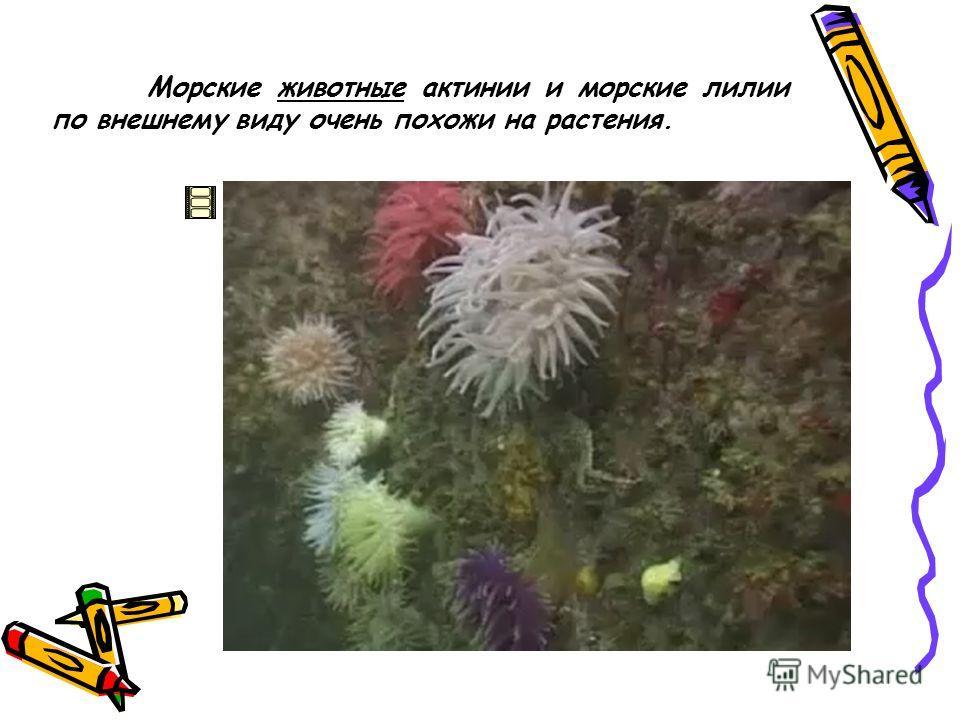 Морские животные актинии и морские лилии по внешнему виду очень похожи на растения.
