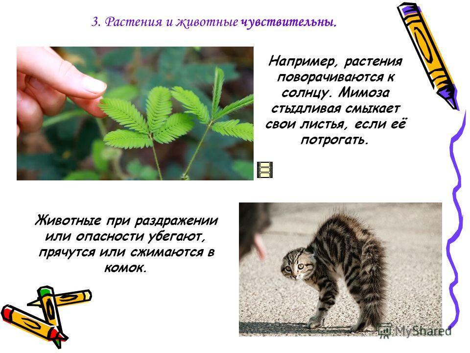 3. Растения и животные чувствительны. Животные при раздражении или опасности убегают, прячутся или сжимаются в комок. Например, растения поворачиваются к солнцу. Мимоза стыдливая смыкает свои листья, если её потрогать.