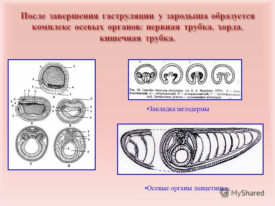 Закладка мезодермы Осевые органы ланцетника