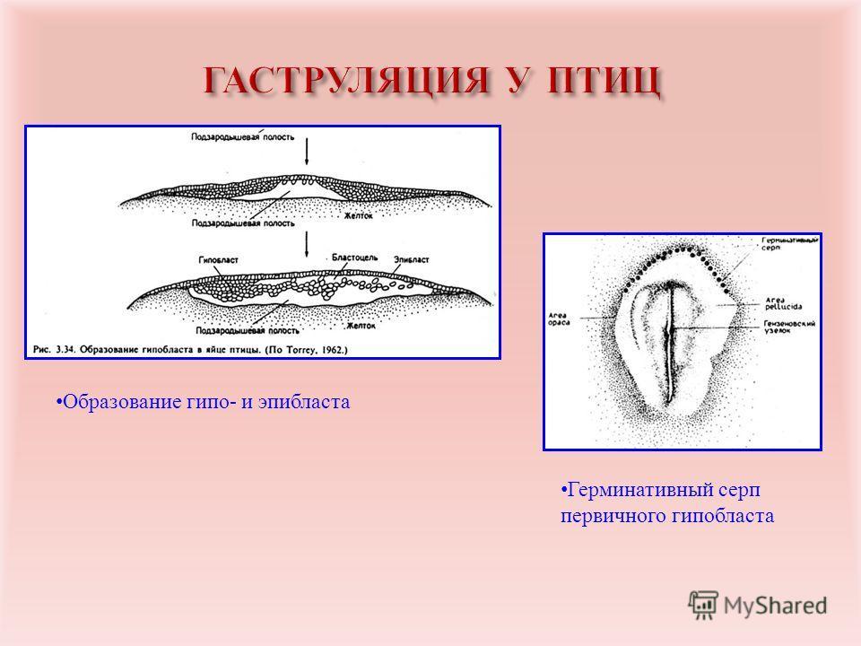 Образование гипо- и эпибласта Герминативный серп первичного гипобласта