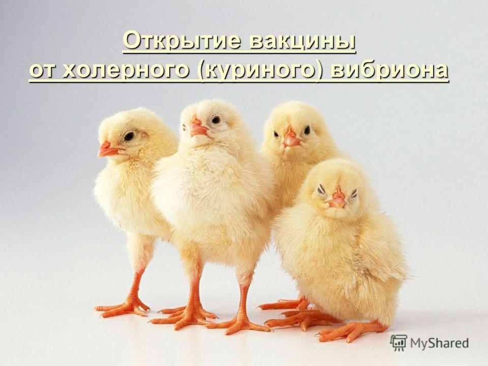 Открытие вакцины от холерного (куриного) вибриона