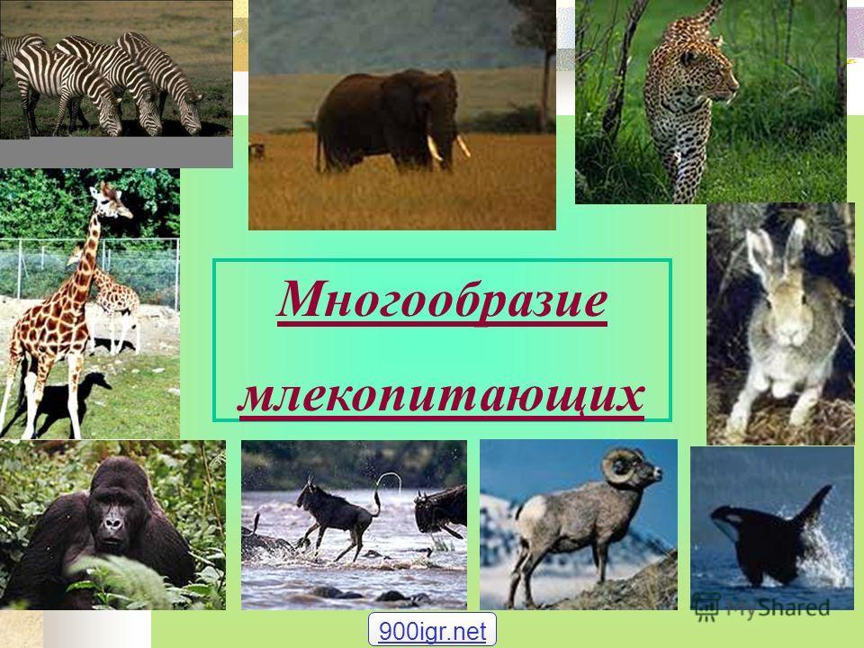 Многообразие млекопитающих 900igr.net