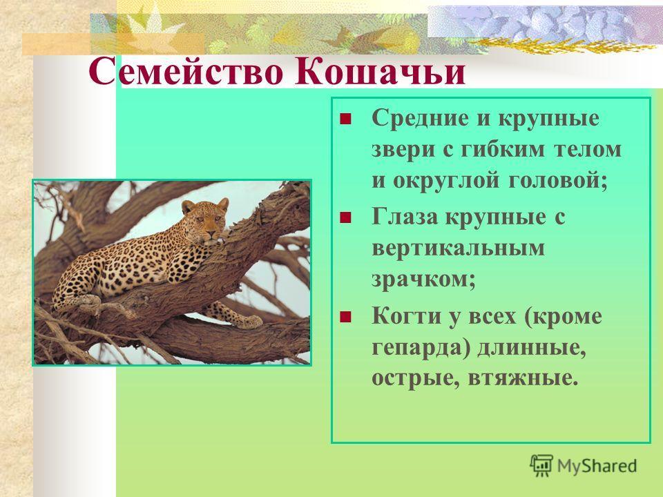 Семейство Кошачьи Средние и крупные звери с гибким телом и округлой головой; Глаза крупные с вертикальным зрачком; Когти у всех (кроме гепарда) длинные, острые, втяжные.