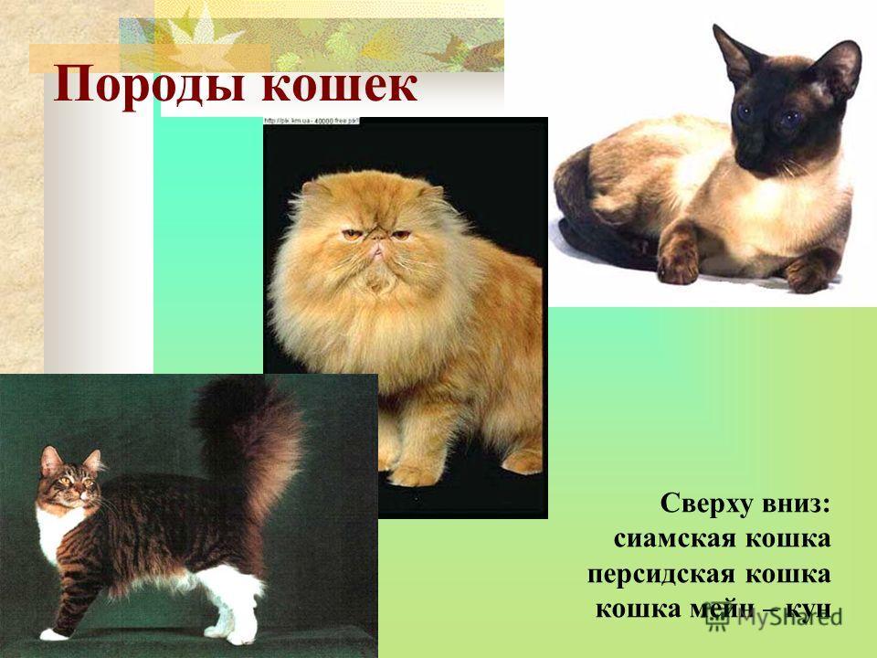 Породы кошек Сверху вниз: сиамская кошка персидская кошка кошка мейн – кун