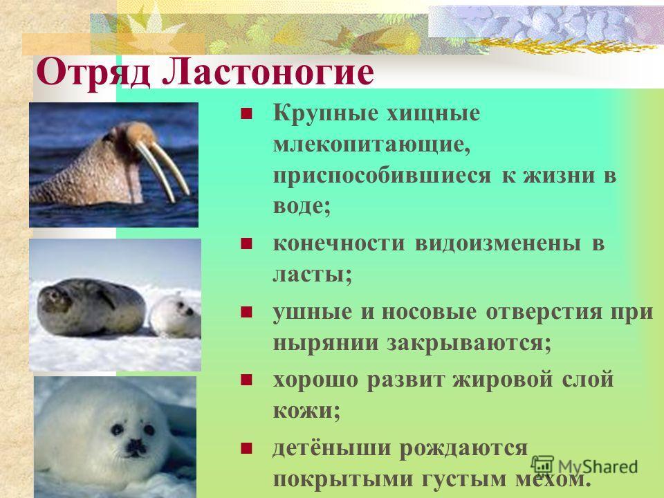 Отряд Ластоногие Крупные хищные млекопитающие, приспособившиеся к жизни в воде; конечности видоизменены в ласты; ушные и носовые отверстия при нырянии закрываются; хорошо развит жировой слой кожи; детёныши рождаются покрытыми густым мехом.