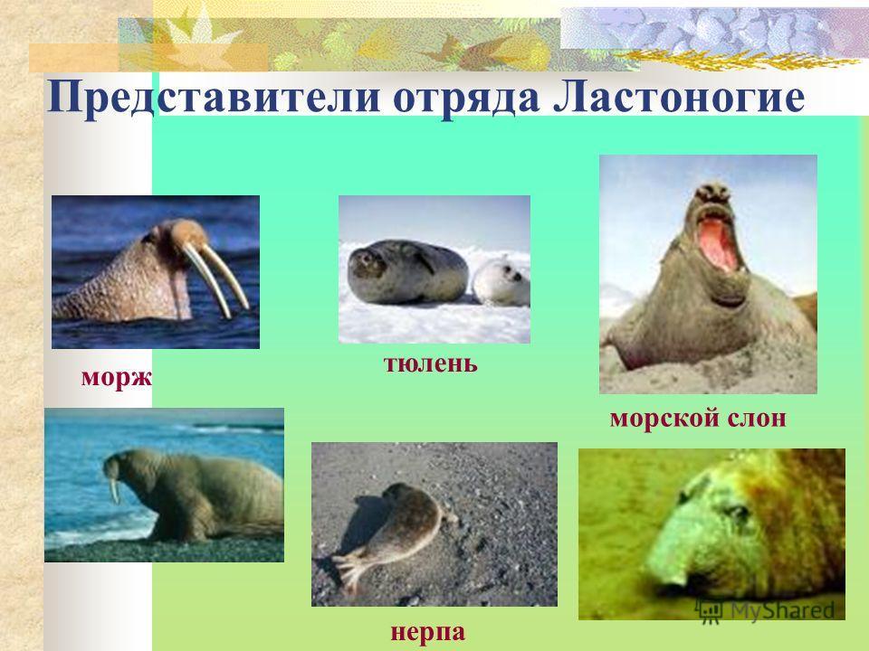 Представители отряда Ластоногие морж тюлень морской слон нерпа