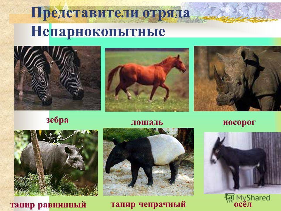 Представители отряда Непарнокопытные тапир чепрачный тапир равнинный осёл зебра лошадьносорог
